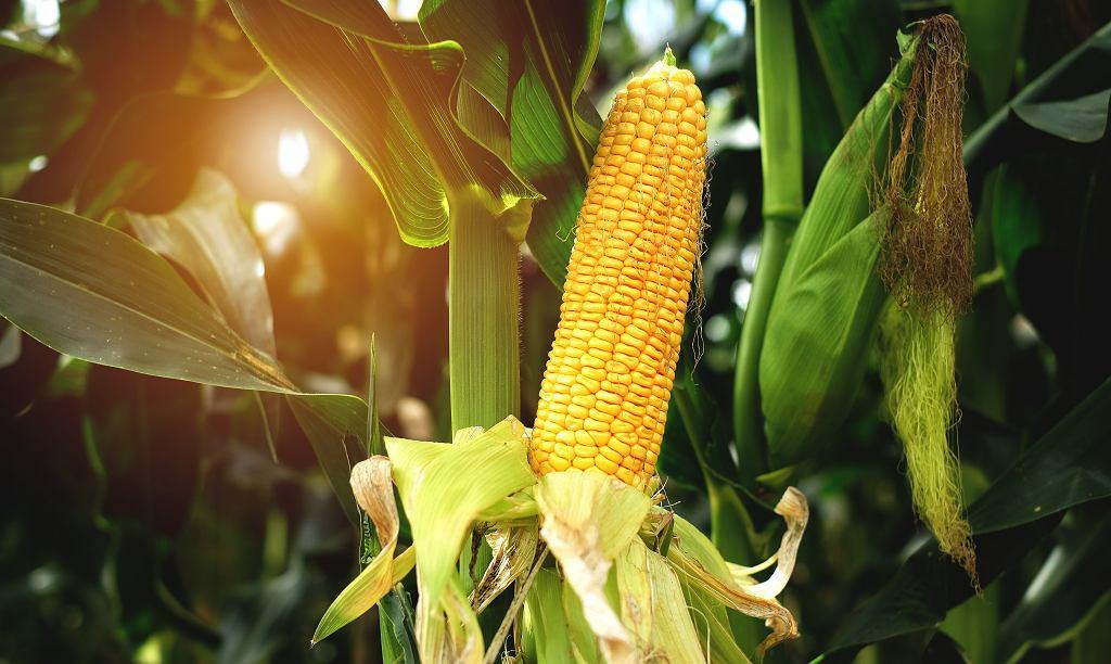 Jak ugotować kukurydzę, aby była miękka i smaczna? Należy pamiętać, aby nie solić wody. Zdjęcie ilustracyjne