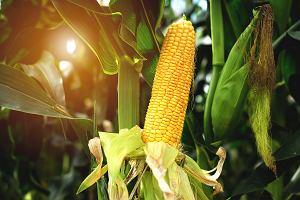 Jak ugotować kukurydzę, tak aby zachować jej smak i właściwości?