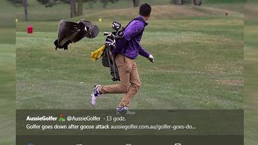 Gęś zaatakowała golfistę