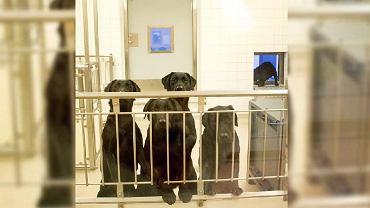 Labradory, które uśpiono na Uniwersytecie w Goteborgu (Szwecja).