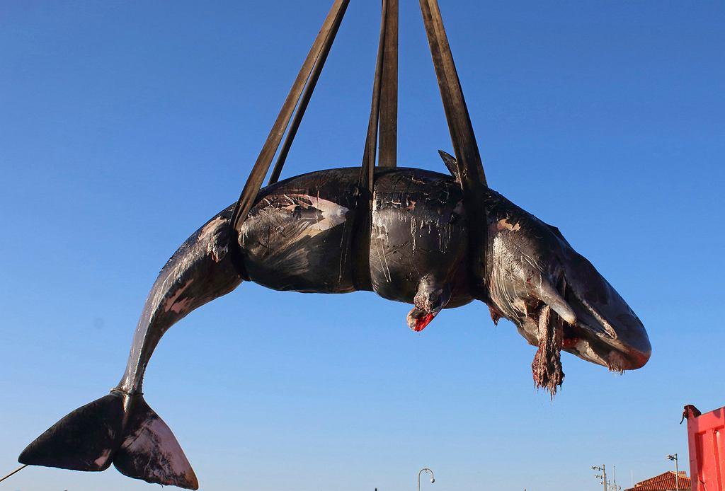 Martwy kaszalot znaleziony na Sardynii miał w układzie pokarmowym 22 kg plastikowych śmieci
