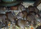 Szczur - czy stanowi zagrożenie dla człowieka?