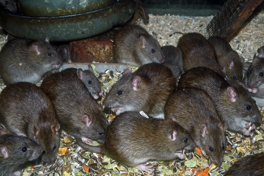 Szczury zamieszkujące miasta mogą przenosić groźne choroby, którymi zarażają się ludzie