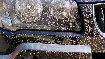 Auto po ekstremalnej wyprawie? Nie, to 'tylko' muszki