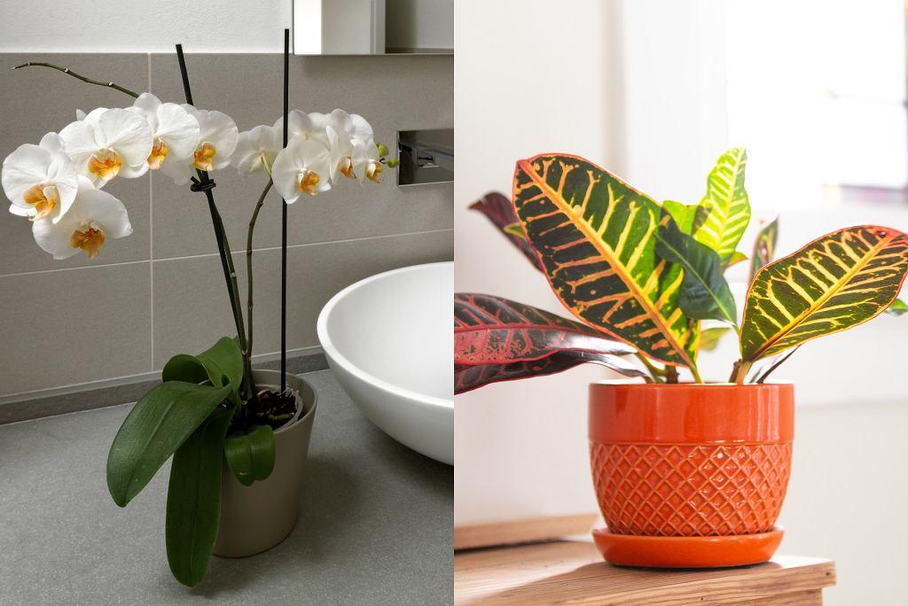 kwiaty łazienkowe - storczyk, kroton