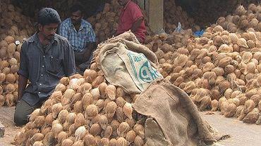 Kokos to nie tylko znakomite źródło błonnika. Nieprzypadkowo palma kokosowa jest nazywana drzewem o tysiącu zastosowań