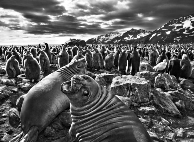 Lwy morskie, Georgia Południowa, 2009 rok