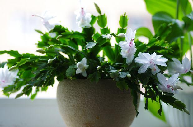 Grudnik jest rośliną łatwą w uprawie. Zdjęcie ilustracyjne