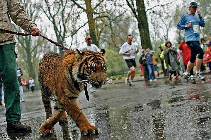 Tygrysica Zoja podczas pierwszej edycji Biegu Dookoła Zoo w 2009 roku