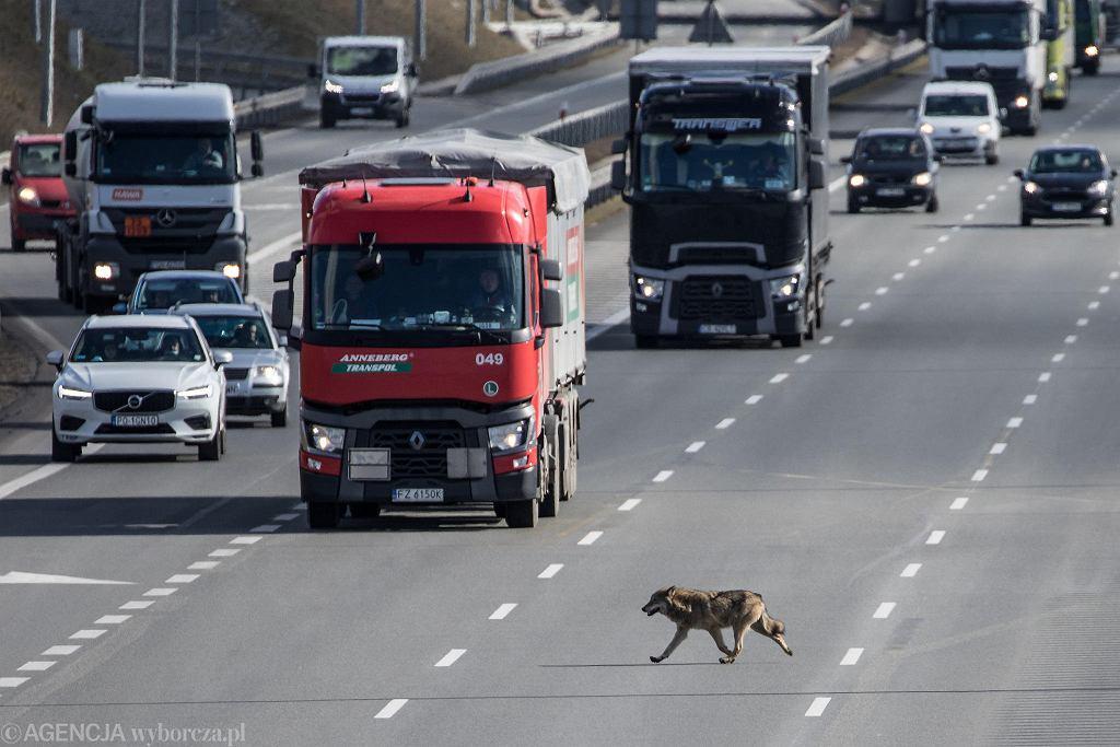 8 marca 2021 r. Wilk biegający po autostradzie A2 w rejonie ul. Głogowskiej w Poznaniu