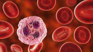 Neutrocyty, nazwane również neutrofilami (NEUT), są najliczniejszą grupą komórek układu odpornościowego, które chronią organizm przed bakteriami, wirusami i innymi patogenami.