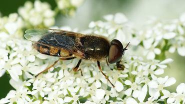 Zmrużek z gatunku Odontomiya ornata
