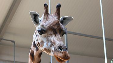 W zoo w Poznaniu zmarła druga żyrafa w ciągu miesiąca. Pracownicy podejrzewają, że przez dokarmianie