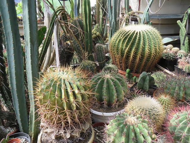 Kolczaści Przyjaciele Pana Zdzisława Ma 400 Tys Kaktusów