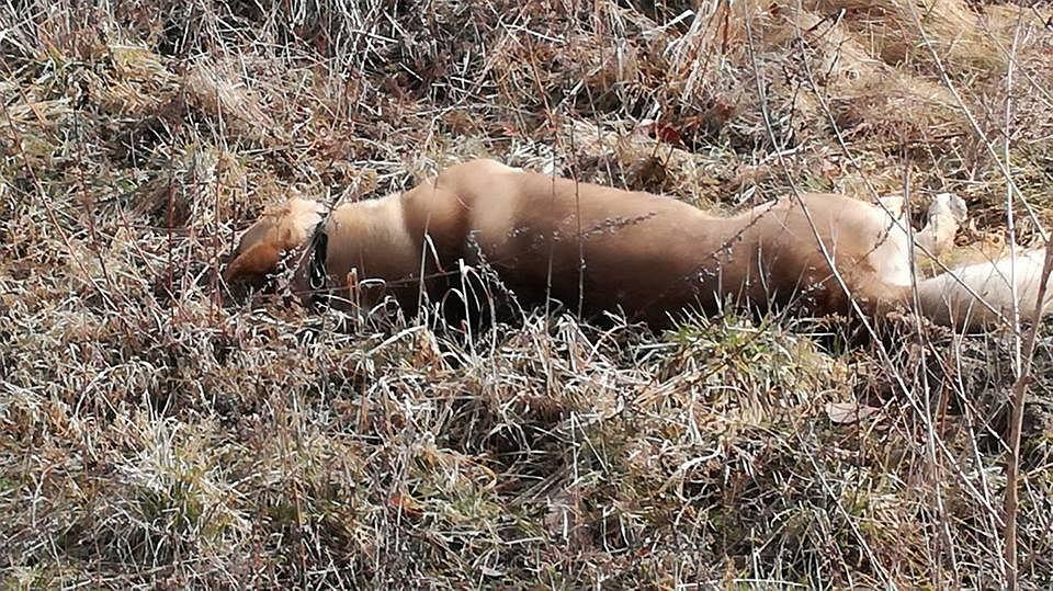 Zastrzelony pies w Trąbkach Wielkich