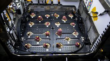 Rzodkiewki wyhodowane na ISS