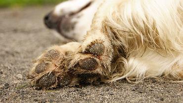 Lagionowo. Mężczyznę oskórował swojego psa, a fragmenty jego ciała zjadł