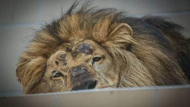 Lew w gdańskim zoo