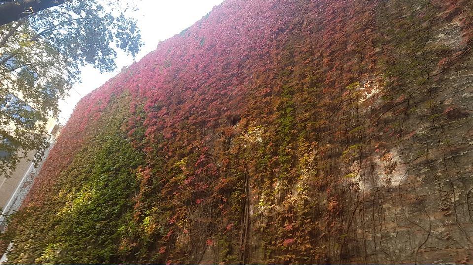Rośliny na balkonie. Takiego bluszcza w doniczce nie wyhodujesz, ale mniejsze owszem. Mój ulubiony na świecie winobluszcz na ścianie kamienicy przy ul. Marszałkowskiej 66 w Warszawie. Podwórze przynależy do bloku mieszkalnego pod nr 68/70.