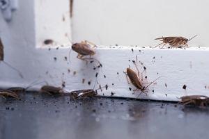 Karaczany w domu - skąd się biorą, czy są szkodliwe, jak je zwalczać?