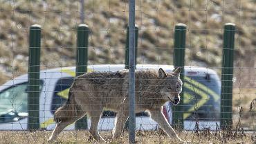 8 marca 2021 r. Wilk biegający po ul. Głogowskiej w Poznaniu