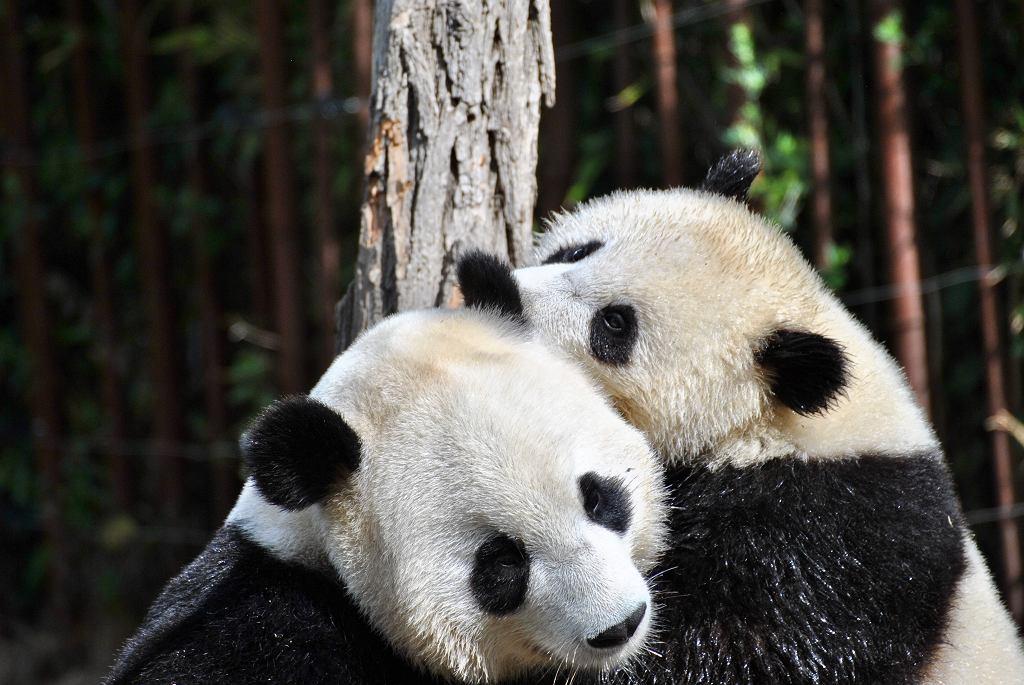 pandy (zdj ilustracyjne)