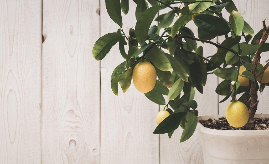 Drzewko cytrynowe w domu potrafi sprawiać kłopoty, ale też zachwycać