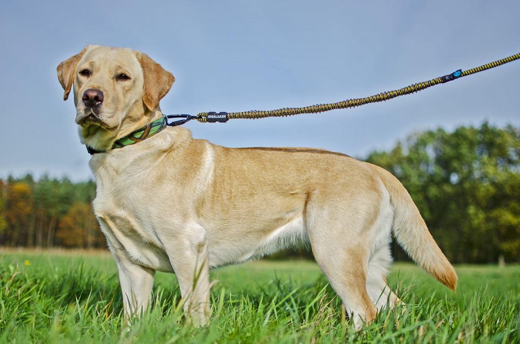 Profesjonalna smycz dla psa Idealeash Trekking MAXI, do wspólnego trekkingu i biegania.