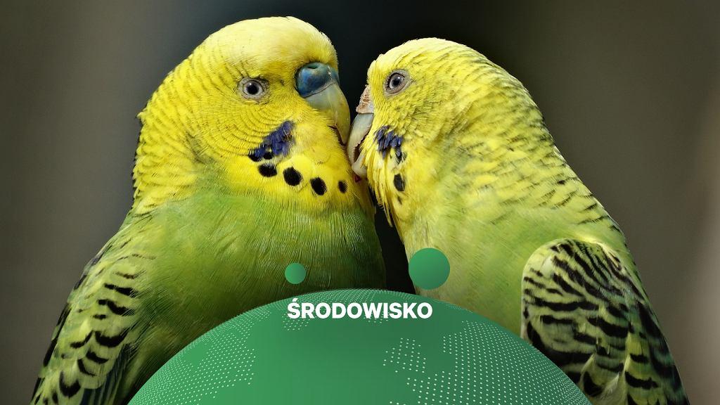 Papużki faliste, zdjęcie ilustracyjne