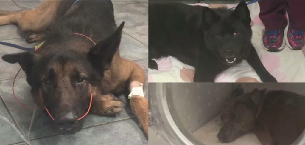 Psy w trakcie leczenia