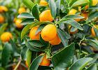 Kumkwat - owoc o cennych właściwościach