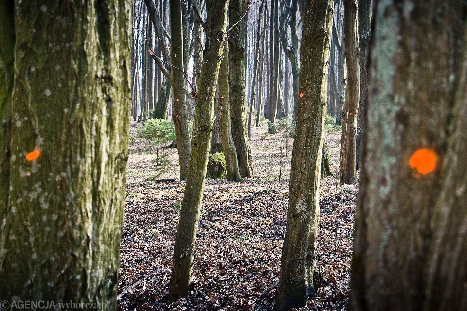 Oznaczone drzewa - przeznaczone do wycinki w Lesie Zwierzynieckim pod Białymstokiem