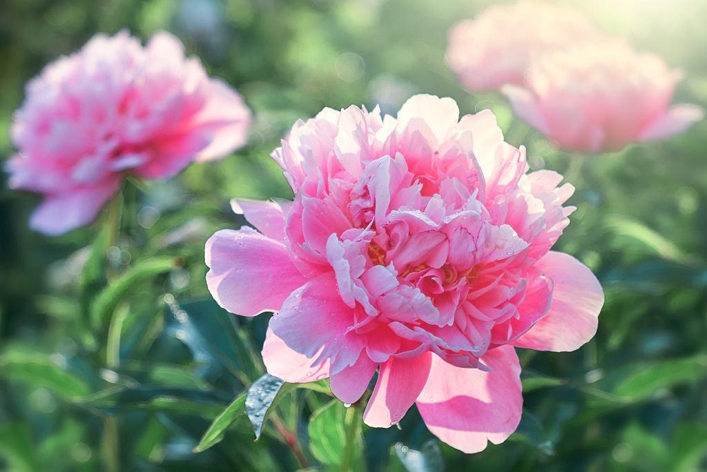 kwiaty wieloletnie - peonia