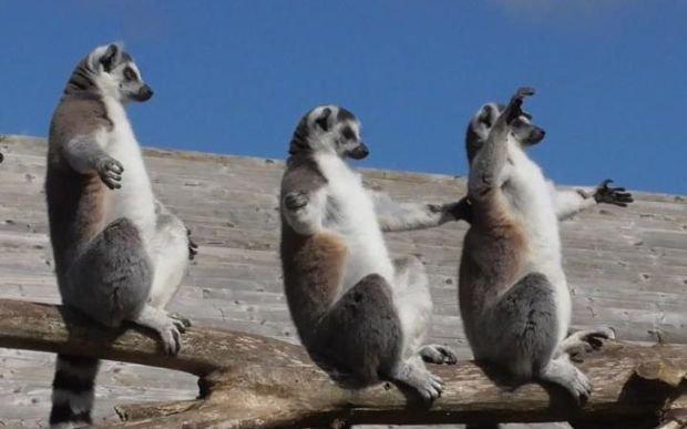 Lemury na słońcu