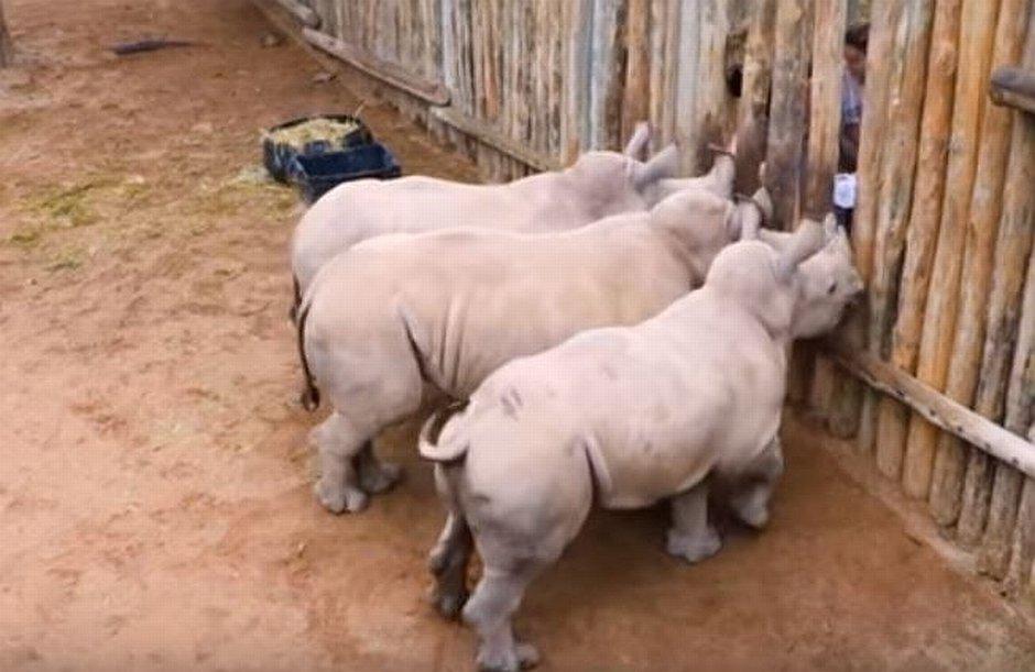 Co robią małe nosorożce gdy skończy im się mleko?