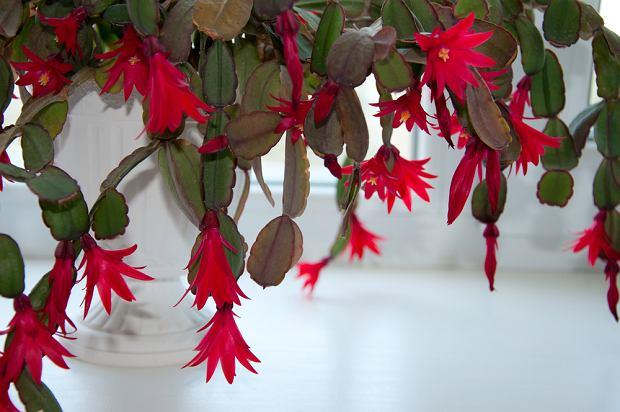 Grudnik zwany jest kaktusem bożonarodzeniowym. Zdjęcie ilustracyjne