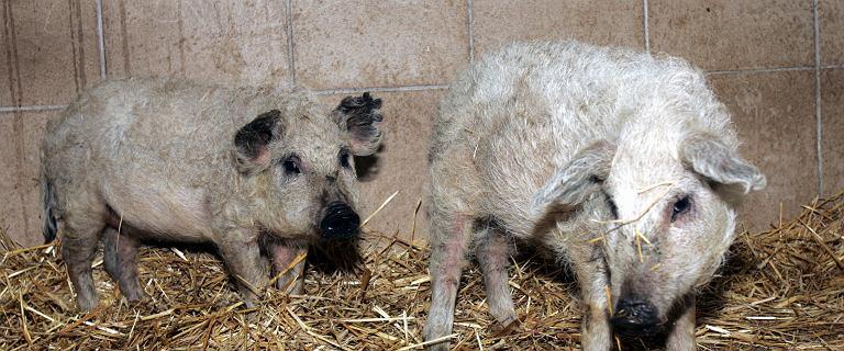 Świnie w Osieku zjadły rolnika. Sprawa może zostać umorzona