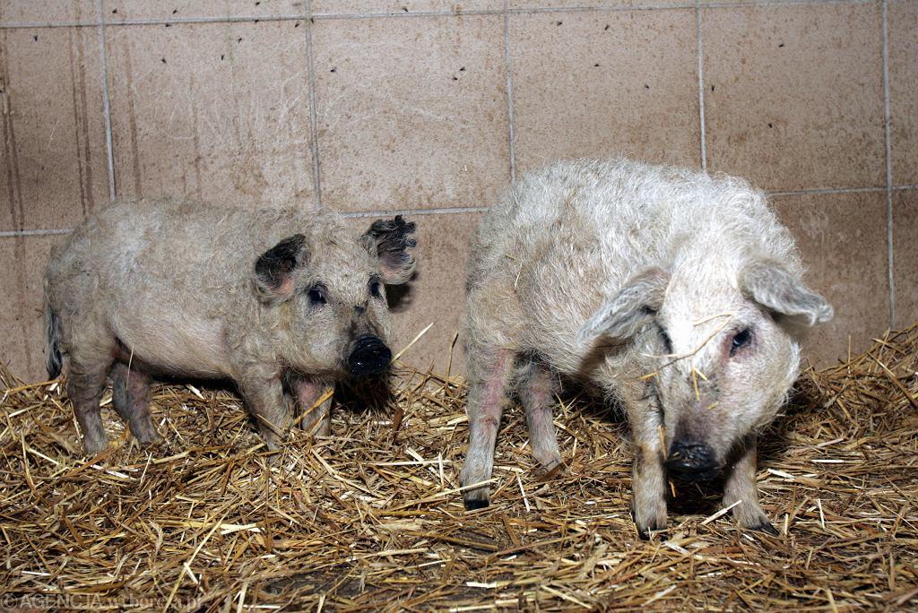 Świnie rasy Mangalica (zdjęcie ilustracyjne)