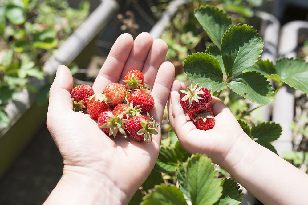 Wyraz truskawka pochodzi od 'trzasku' - tak miano niegdyś nazywać każdą roślinę 'łomliwą'