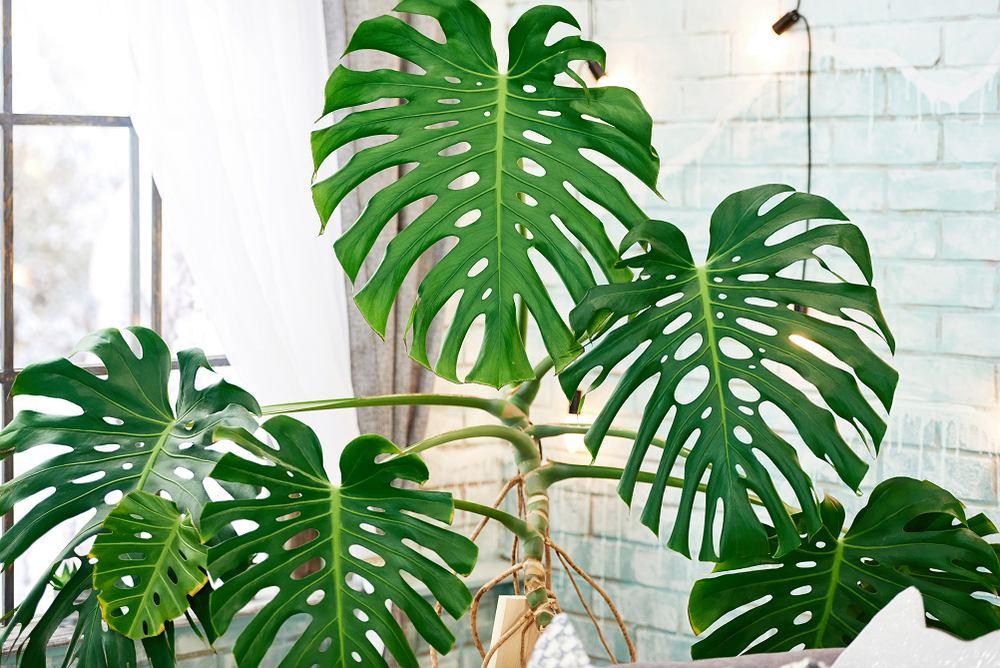 Naturalnym środowiskiem monstery są tropikalne lasy