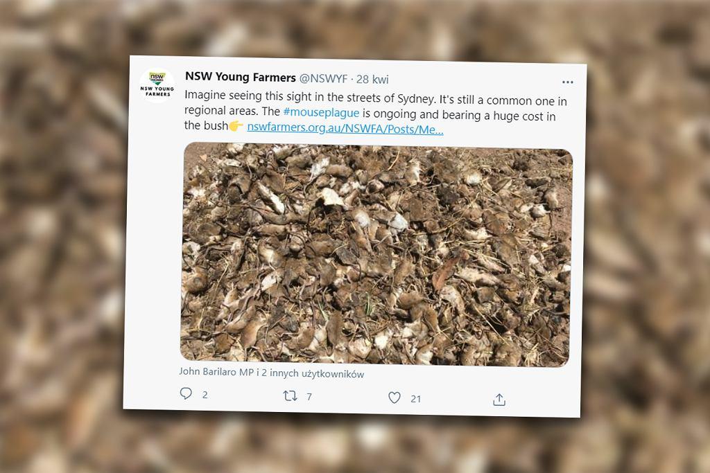 Australię nawiedziła plaga myszy. Straty sięgają milionów dolarów