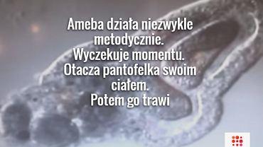 Ameba - jednokomórkowy zabójca