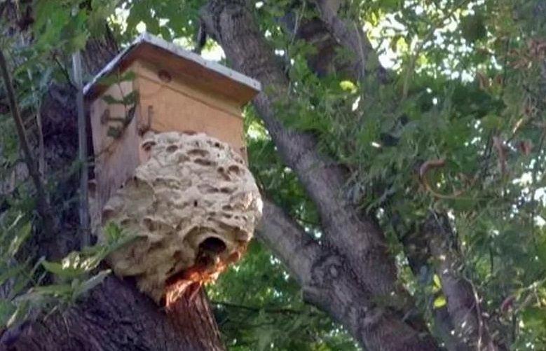 Gniazdo szerszeni w parku na Woli
