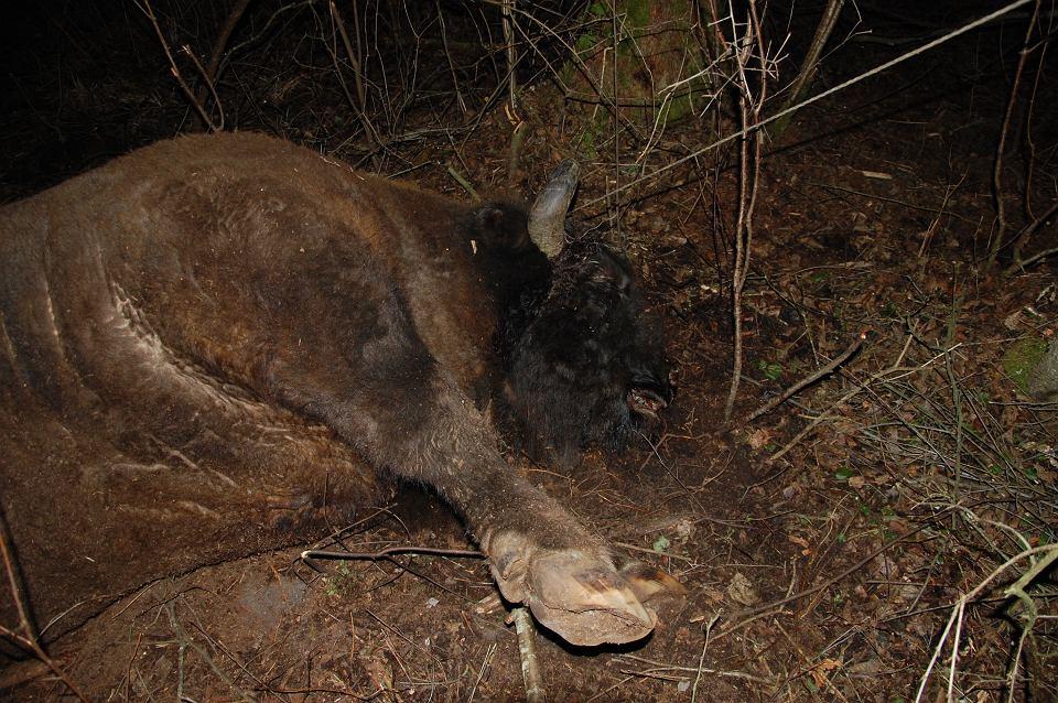 W puszczańskim Nadleśnictwie Browsk znaleziono martwego żubra. Zwierzę wpadło we wnyki