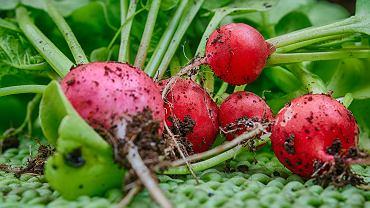 Sianie rzodkiewki to świetny pomysł na początek przygody z uprawianiem warzyw