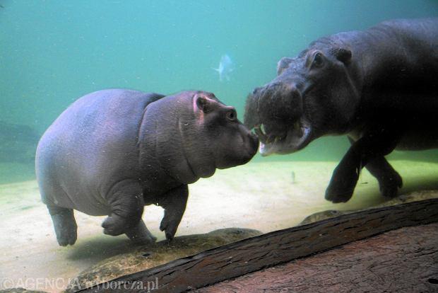 Hipopotamy we wrocławskim zoo