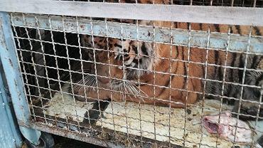 Dramat tygrysów na granicy z Białorusią