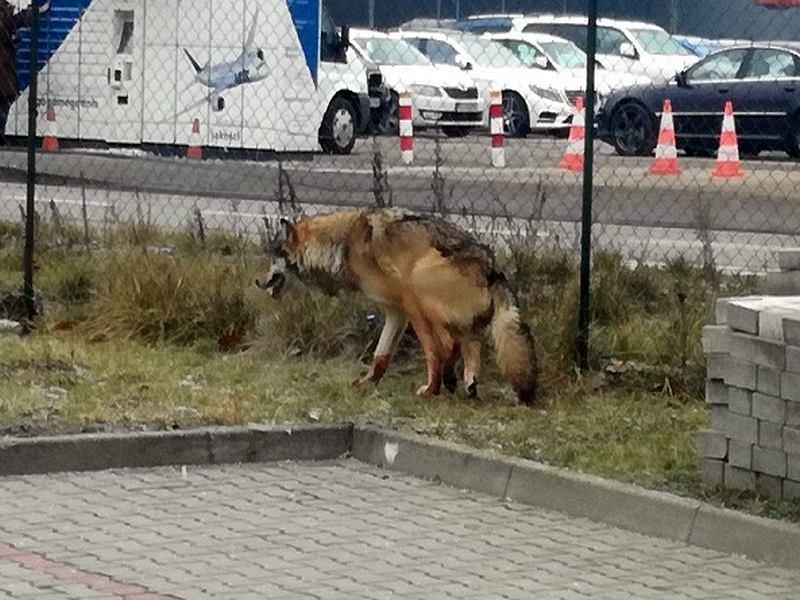 Wilk Z Przetrąconym Kręgosłupem Wędrował Po Warszawie