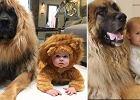 Ogromny pies ma wyjątkową relację z dziećmi. Nagrania podbijają internet