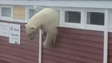 Niedźwiedź polarny buszował w składziku
